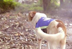 Tayland Sokaklarını Akıllı Yeleğe Sahip Köpekler Koruyacak